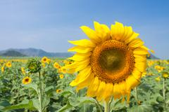 Sunflower in a field - stock photo
