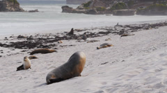 Sea-lion on beach Stock Footage