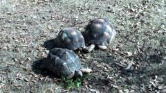 Three Tortoises eating Stock Footage