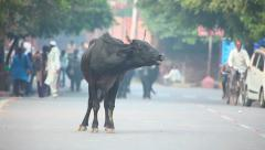 Indian buffalo on the streets of Agra, India. Stock Footage