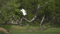 SLOW MOTION: White stork spreads wings and flies away Stock Footage