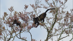 Costa Rica, Low angle view of Howler Monkeys on tree Stock Footage