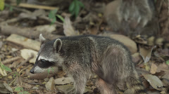 Costa Rica, Manuel Antonio State Park, Racoon eating Stock Footage