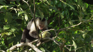 Stock Video Footage of Costa Rica, Manuel Antonio State Park, Capuchin Monkey eating