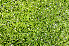 Duckweed natural Stock Photos