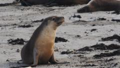 Australian sea-lion Stock Footage