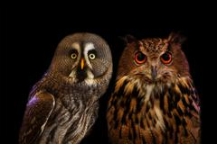 Close up face night owl on black background use for wild bird and animals theme Stock Photos