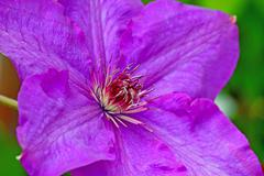 Stock Photo of Clematis flower