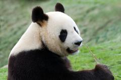 Big panda Stock Photos