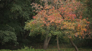 Beautiful trees with heavy foliage in city park. Stock Footage