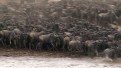 Wildebeests (Connochaetes taurinus) crossing the Mara River Stock Footage
