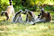 Cute lemur kata Stock Photos