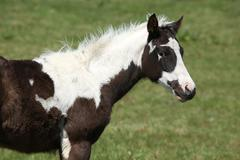 nice paint horse foal on pasturage - stock photo