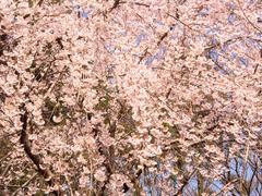 Kukkiva itkien kirsikankukka puu - stock photo