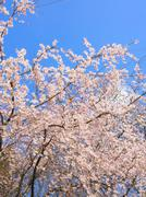 Weeping cherry blossom and clear blue sky Stock Photos