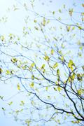 Fresh leaves and branches of dogwood (Cornus florida) Stock Photos