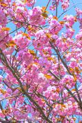 Blooming double cherry blossom and blue sky Stock Photos