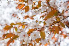 Kukinta Wild Cherry Blossom - stock photo
