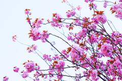 Close up of blooming double cherry blossom and blue sky Stock Photos