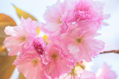 Close up of blooming double cherry blossom - stock photo
