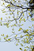 Fresh leaves of dogwood (Cornus florida) - stock photo