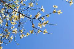 White flowering dogwood tree (Cornus florida) in bloom in sunlight - stock photo