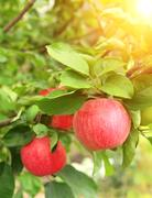 Crop of apples - stock illustration