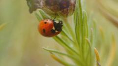 Ladybug at Lavender flower Stock Footage
