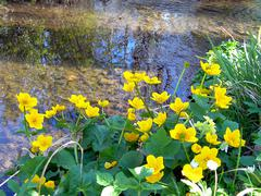 Brook with buttercups - stock photo