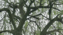 Springtime Willow Tree Branches - 25FPS PAL Stock Footage
