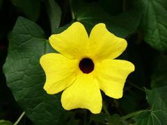 Thunbergia alata, common name Black-eyed Susan vine Stock Photos