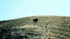 Wild Bison in Utah Stock Footage