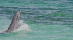 Tracking medium shot of dolphin performing at water show / Roatan, Honduras, Stock Footage