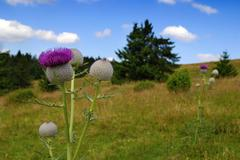 Thistle on the meadow - stock photo