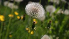 Dandelion among green grass Stock Footage