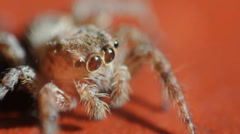 Jumping Spider Stock Footage