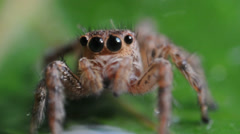 Jumping spider macro Stock Footage
