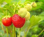 Strawberry Stock Illustration