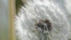 Dandelion seed puff ball - macro close-up Stock Footage