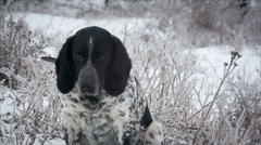 Spotted dog. Sitting in the snow. It's snowing. hound.  runs to me Stock Footage