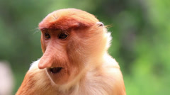 A young Proboscis Monkey feeds in the mangroves on Borneo Stock Footage