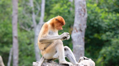 Young Proboscis Monkey feeding Stock Footage