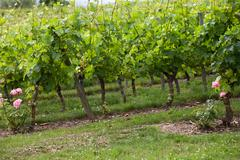 Vineyard in the famous wine making region - loire valley , france Stock Photos