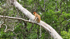 Proboscis Monkey in a tree Stock Footage