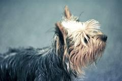 young puppy terrier - young silky terrier profile. pets photo collection. - stock photo