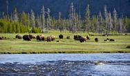 Stock Photo of yellowstone landscape and ecosystem - american bisons ( buffalo ) in the grea