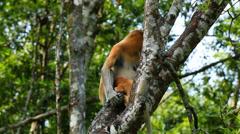Mother and baby Proboscis Monkey Stock Footage