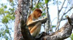 Proboscis Monkey feeding Stock Footage