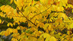 Yellow Autumn Leaves Potomac River Stock Footage