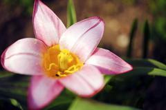 blossom pinky flower closeup. flowers photo collection - stock photo